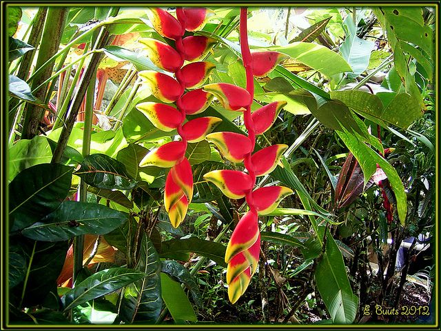 Duo Helikonia by Niemann-Buuts (off some days again), via Flickr