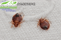 Pin By Lamasat Clean On شركة مكافحة حشرات بجدة Bed Bug Bites Bed Bugs Treatment Bed Bugs
