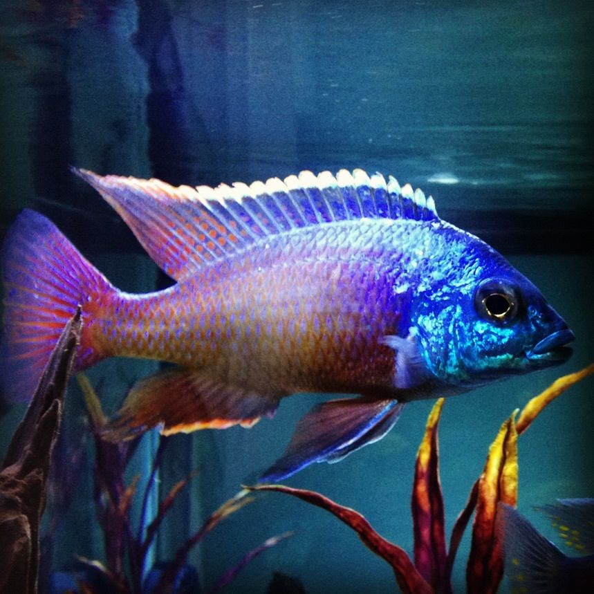 Red Empress Cichlid Cichlid Fish Freshwater Aquarium Fish Aquarium Fish Tank
