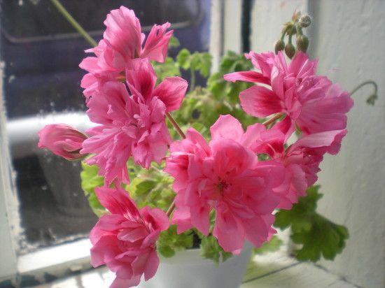 Unicorn Zonartic Rose
