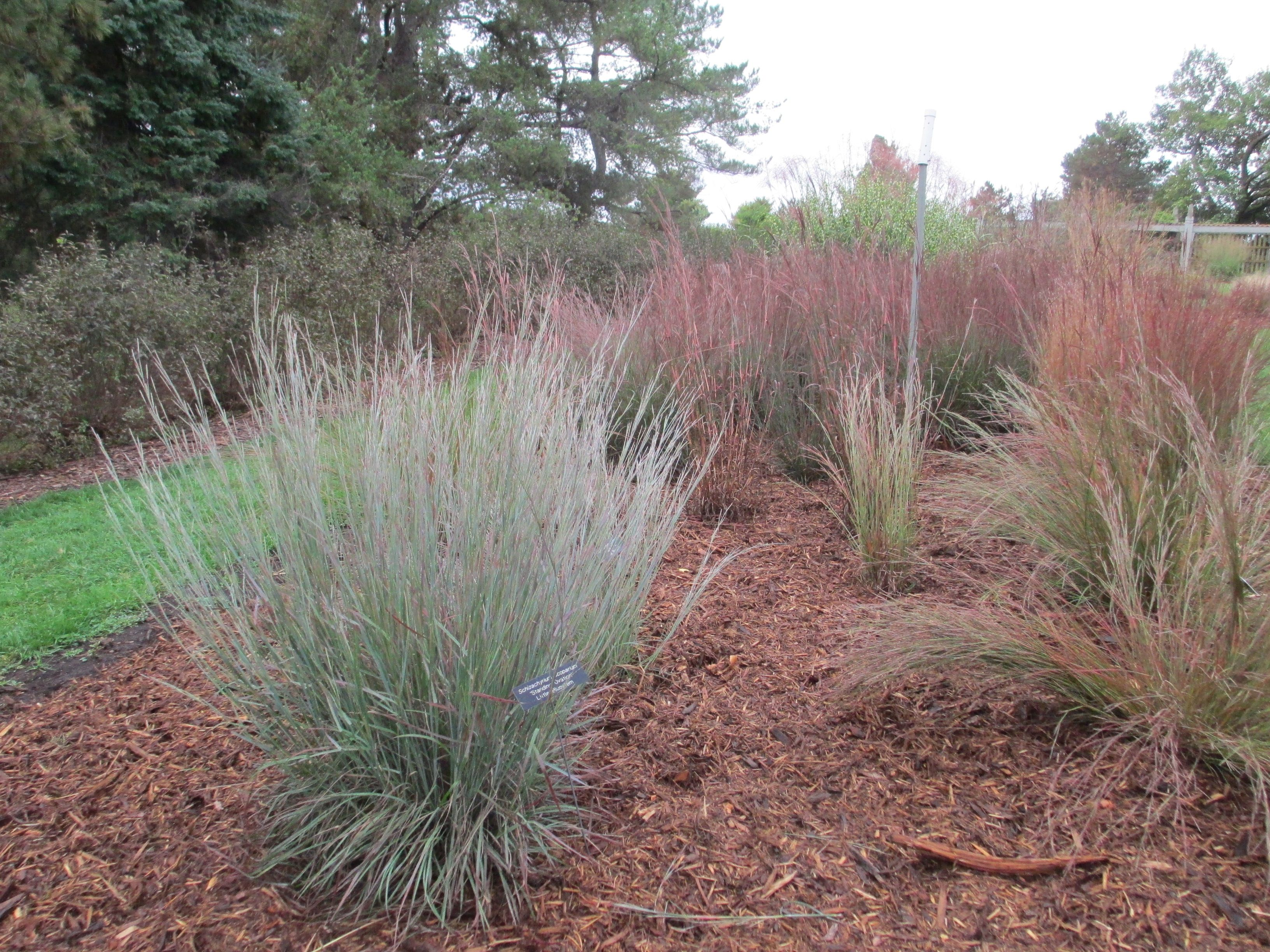 Ornamental Grasses Colorado Little bluestem ornamental grass colorado native gardening little bluestem ornamental grass workwithnaturefo