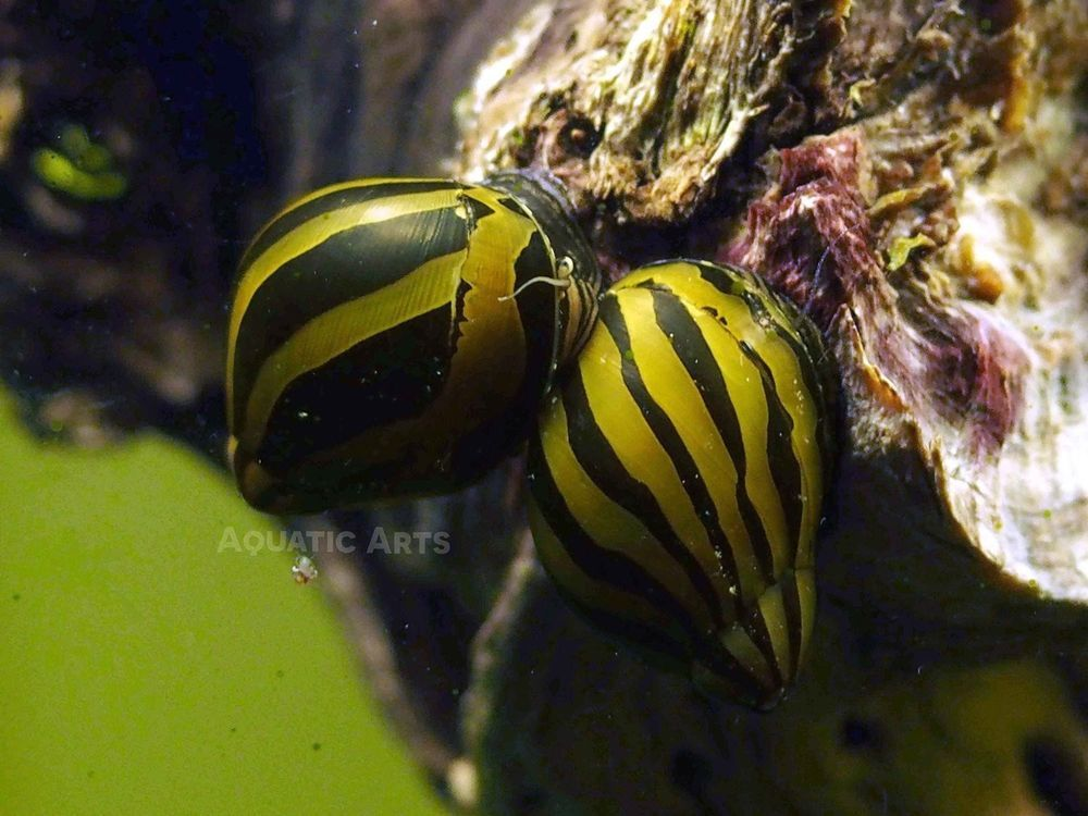 Nerite Snail Combo Pack 1 Neritina Natalensis