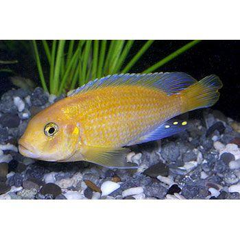 Red Zebra Cichlid Cichlids African Cichlids Aquarium Fish