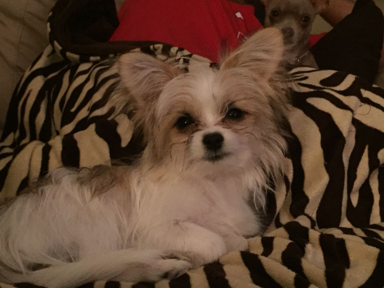 Yorkillion Yorkie Papillon Mix Yorkie Papillon Mix Yorkshire