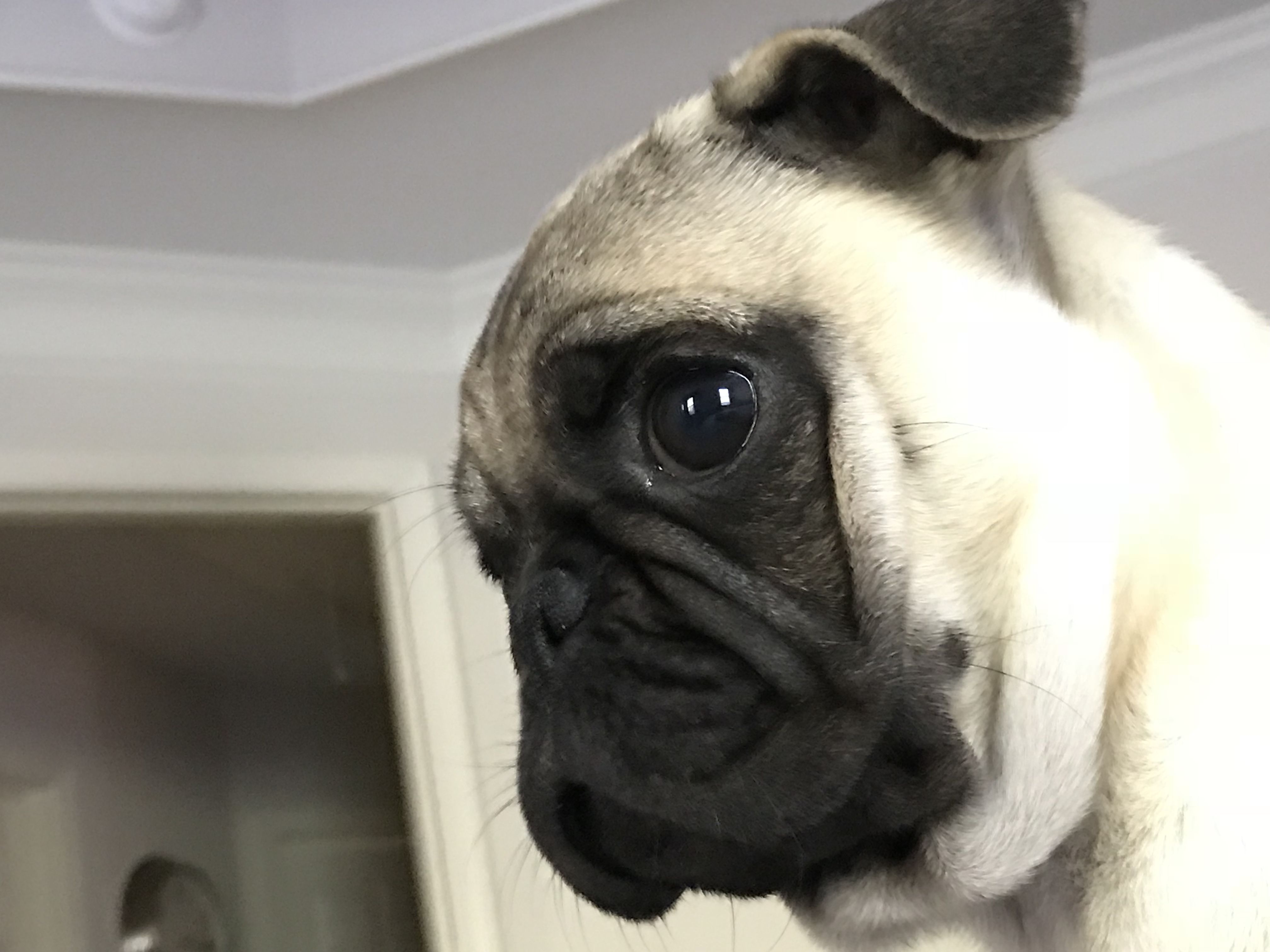 Franklin In Profile With Images Pugs Dogs Cute Animals