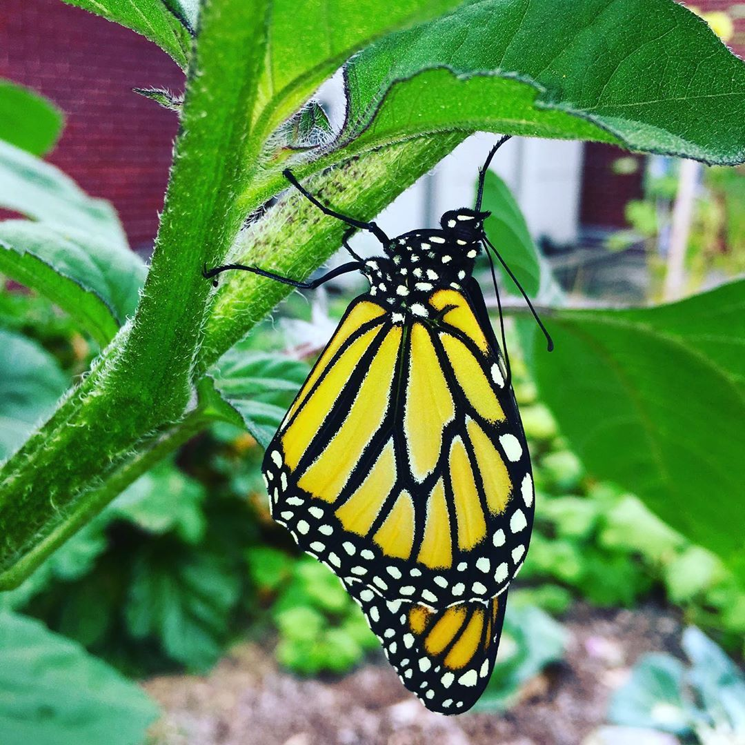 Monarch Emerges As A Butterfly In Milton Vermont