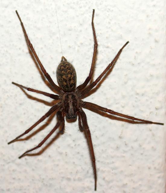 Große Spinnen Deutschland