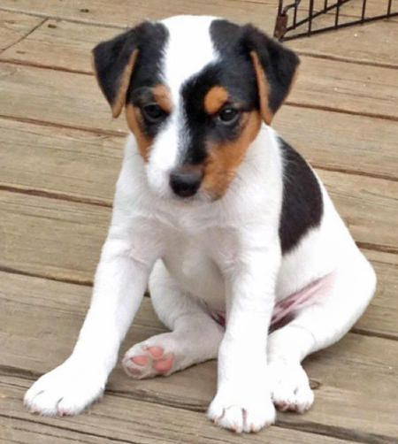 Hilo the Parson Russell Terrier