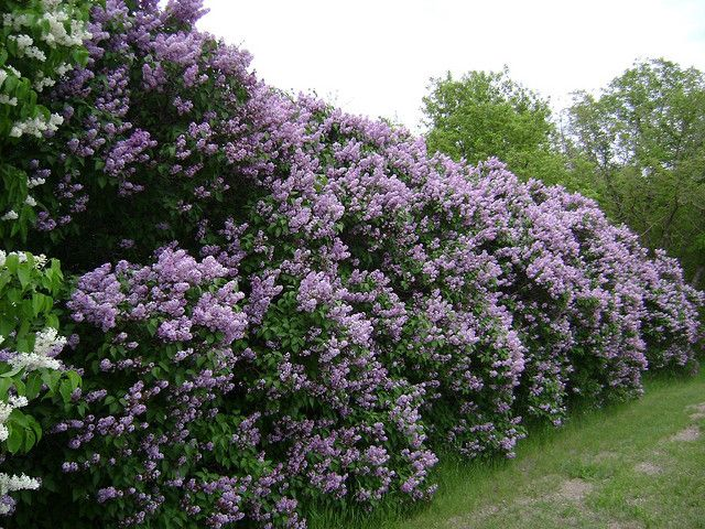"""lilac bushes """"hearts """"passions"""