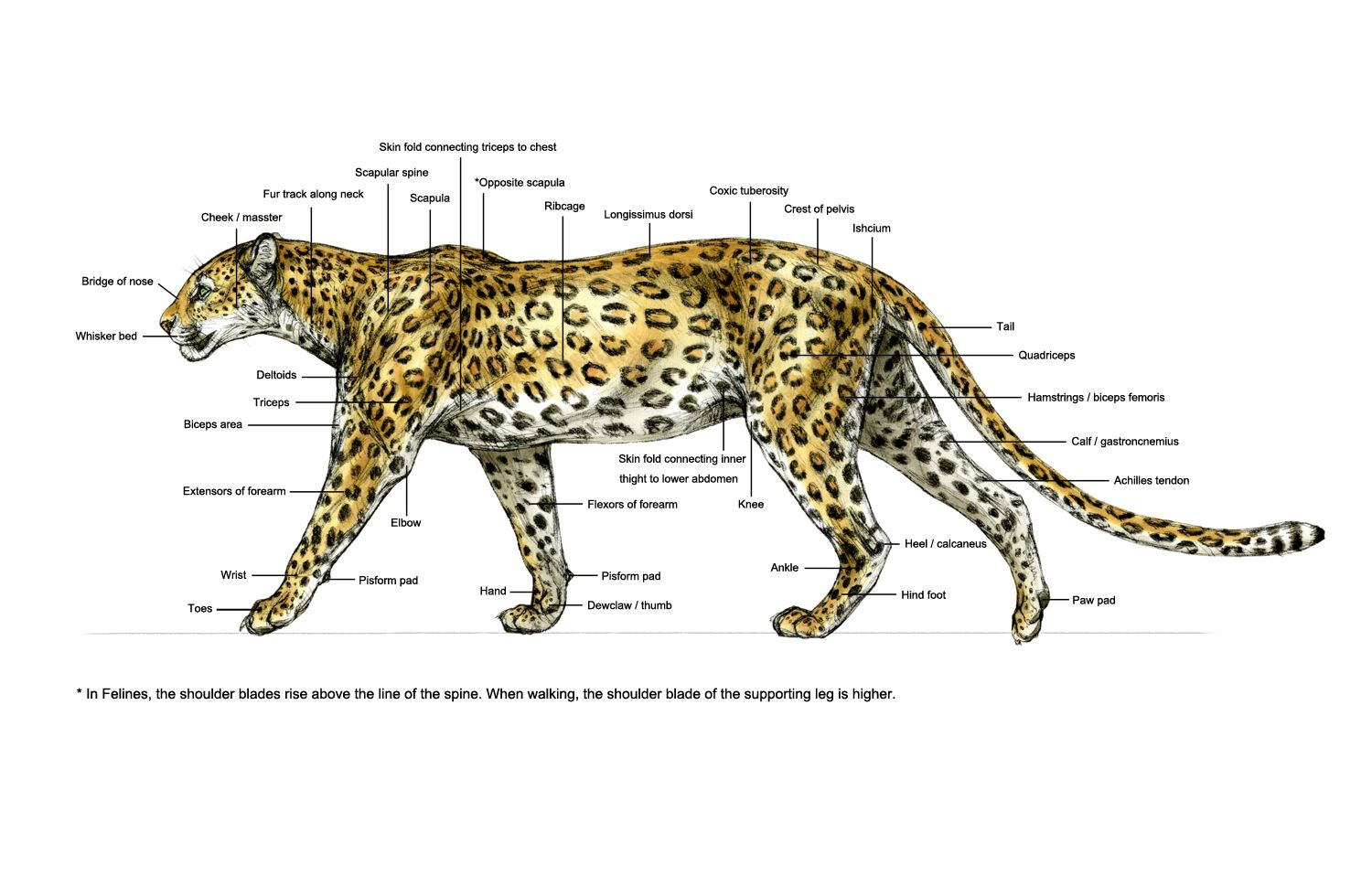 medium resolution of diagram of a leopard spotted leopard ortho surface anatomy apple leopard skeleton diagram diagram of a