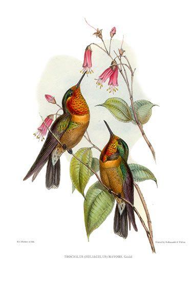 Antique Print Picture Of Orange Throated Sun Angel Hummingbird Gold Leaf Iridescence