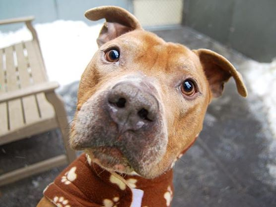 ★❥★ SAFE 03/25/15 ★❥★ SUPER URGENT - 02/16/15 Manhattan Center   My name is LEO. My Animal ID # is A1025942. I am a male tan and white american staff. The shelter thinks I am about 6 YEARS old.  I came in the shelter as a OWNER SUR on 01/21/2015 from NY 10027, owner surrender reason stated was MOVE2PRIVA. https://www.facebook.com/photo.php?fbid=962719763740903