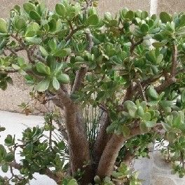arbre de jade plante de crassula ovata succulents pinterest plants cacti and grasses. Black Bedroom Furniture Sets. Home Design Ideas
