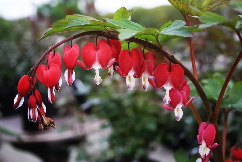 Dicentra Spectabilis Valentine Old Fashioned Bleedingheart This Beauty Features Arching Spikes Of Elegant Cherry Red Heart Shaped Blooms Tranendes Herz Herz