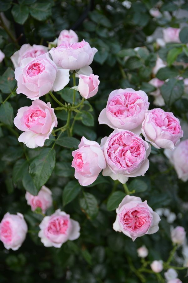 'Mon Coeur' | Shrub Rose. Production in 2012 Japan Kimura TakuIsao