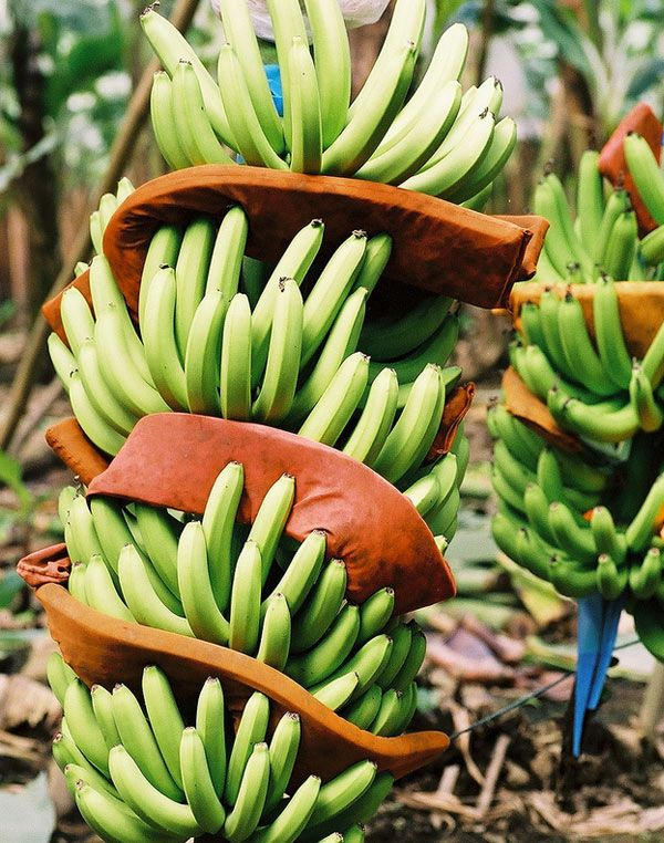 Bananas are just one of a huge number of foods that originated in ...