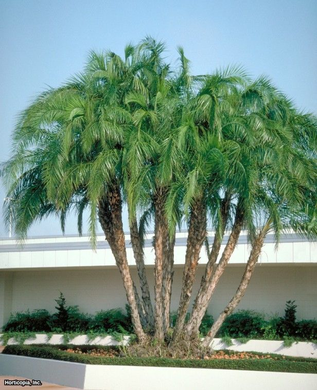 Senegal Date Palm Phoenix Reclinata : HGTV Gardens