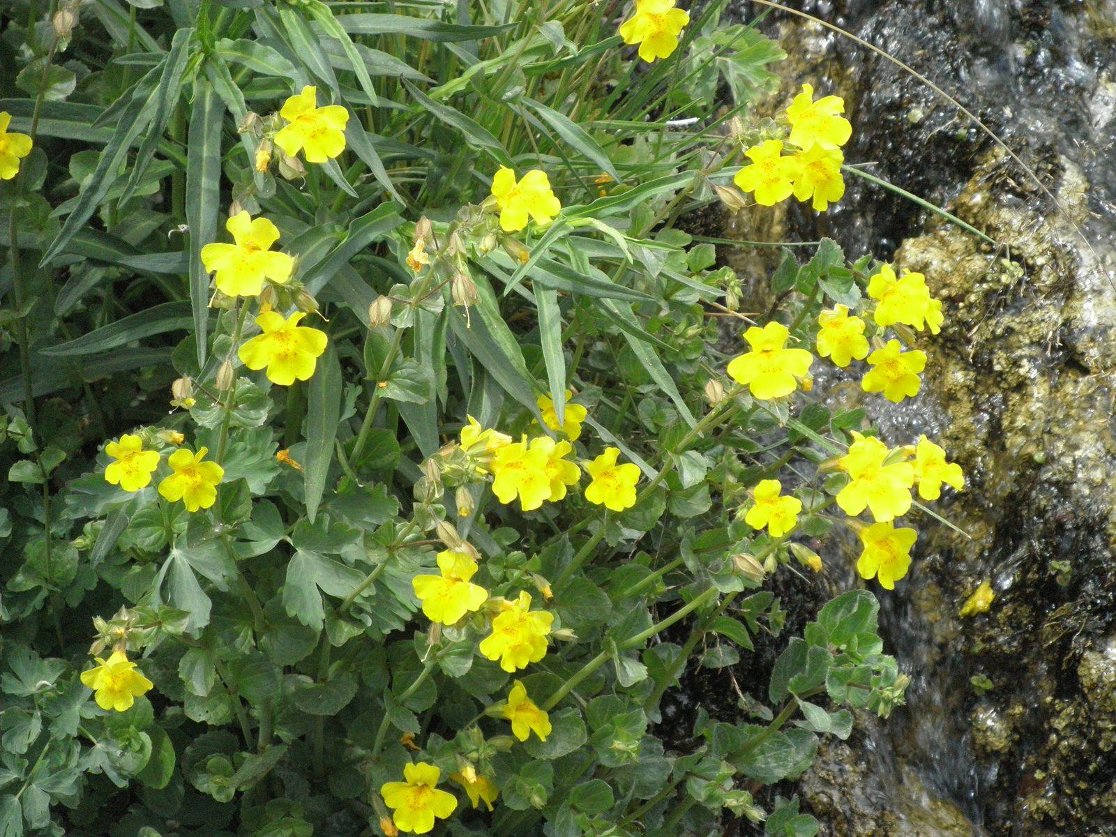 Yellow Monkeyflower Mimulus Guttatus Utah Pinterest Utah