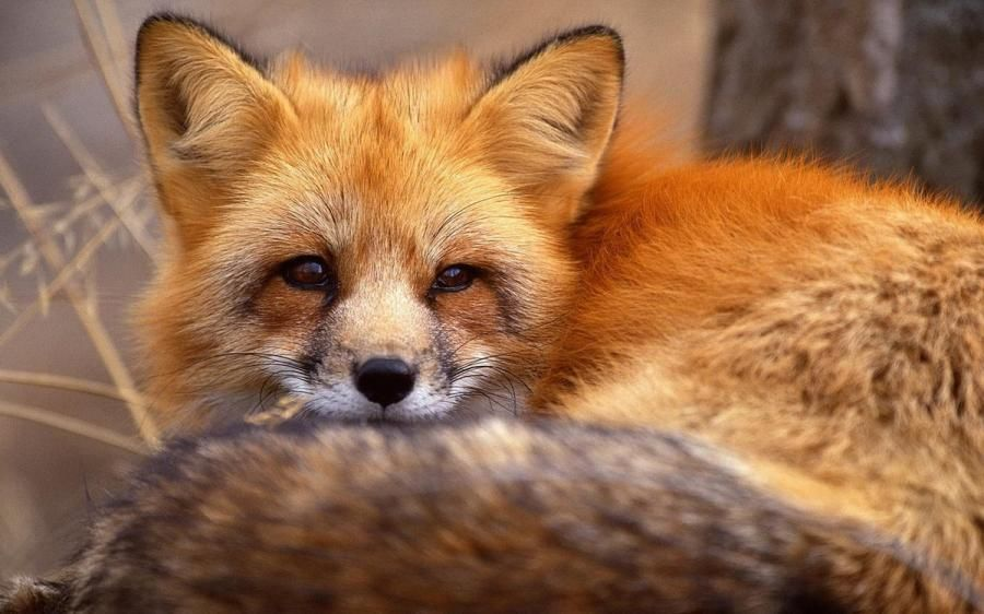 Fox...think twice before you buy fur and kill one.