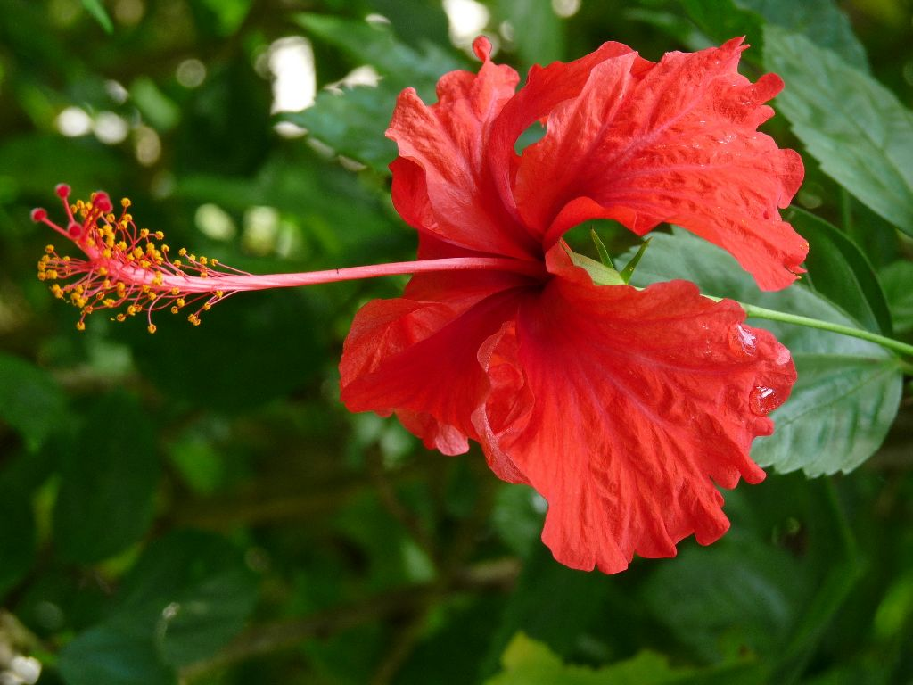 Benefits Of Hibiscus Flower Flores Walle