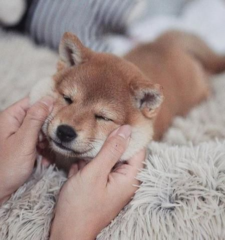 Shiba Inu Puppy Chiot Chiot Shiba Inu Chien Shiba