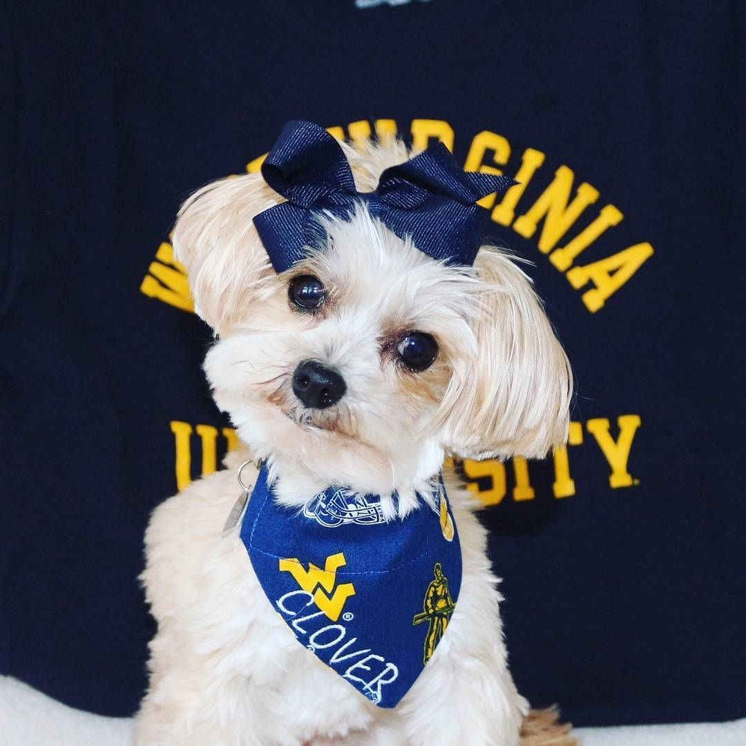 Life Isn T Ruff As Long As You Re A Mountaineer Wvu Mountaineers Letsgomountaineers Westvirginia Westvirginiauniver With Images Ruff West Virginia University Animals