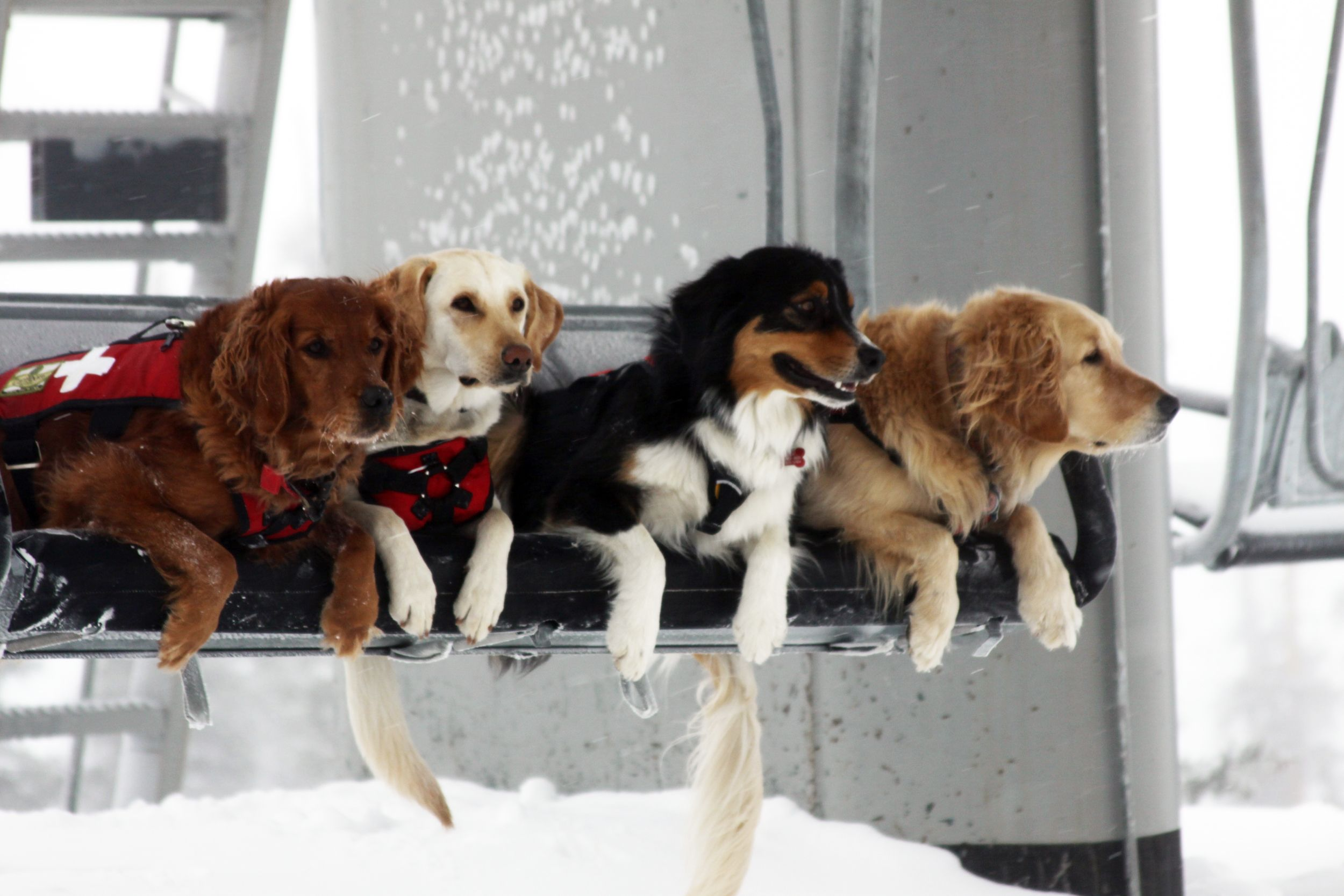 Our Incredible Cute And Hard Working Ski Patrol Dogs For The 13 14 Season Dogs Military Working Dogs Working Dogs