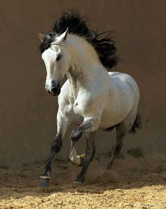 A runing horse