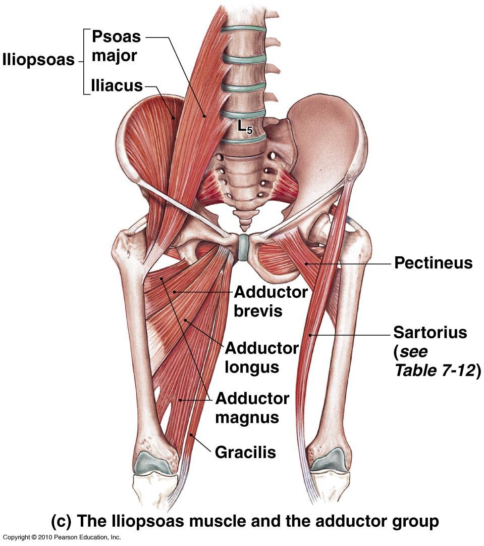 Adductors of the hip | Anatomía | Pinterest | Anatomie muskeln ...