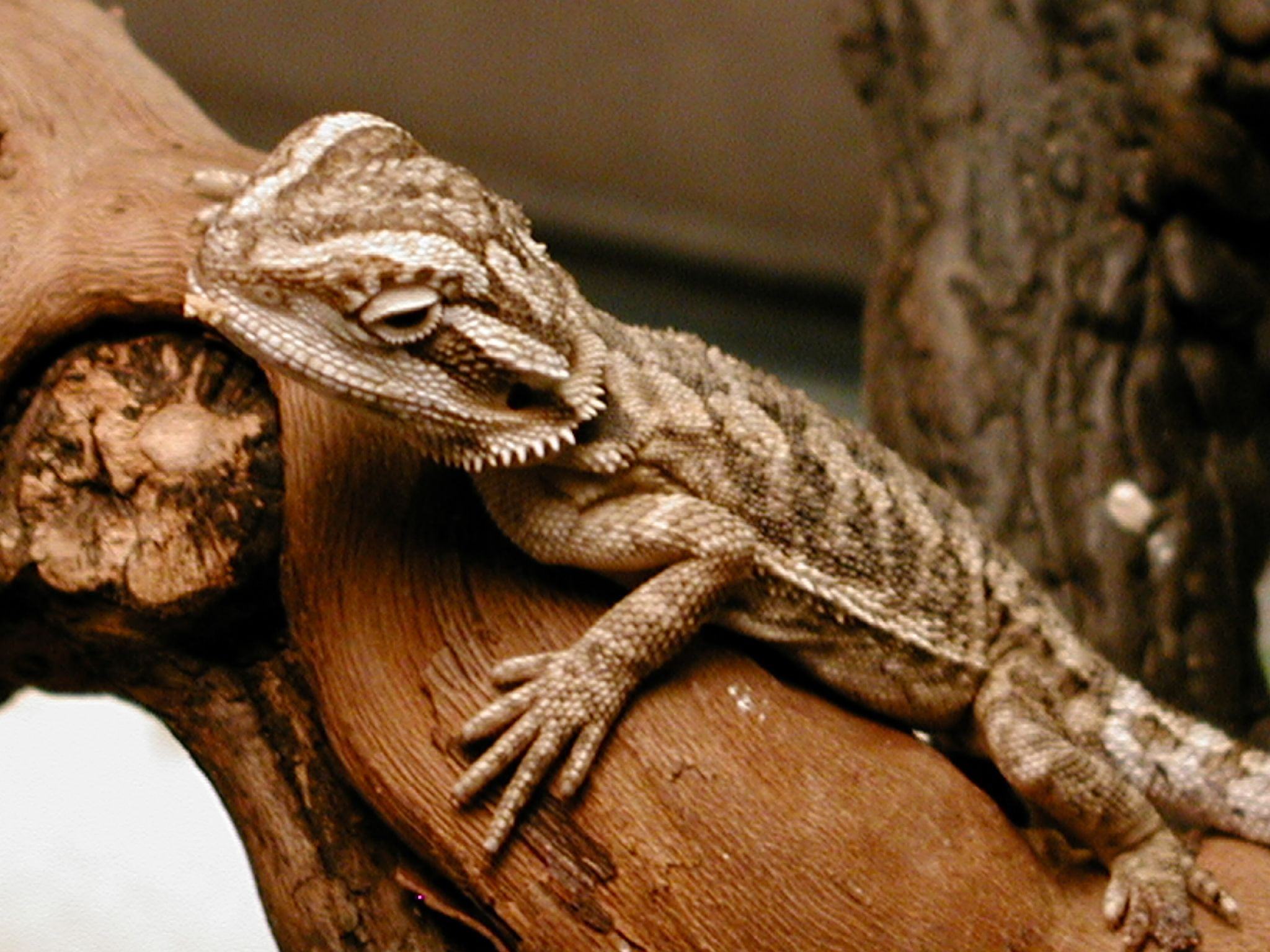 20 different types of bearded dragons with colors species and 20 different types of bearded dragons with colors species and pictures bearded dragon red bearded dragon and reptiles voltagebd Choice Image