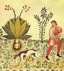 Mandragora (Mandrake). From the Tacuinum Sanitatis.1474.