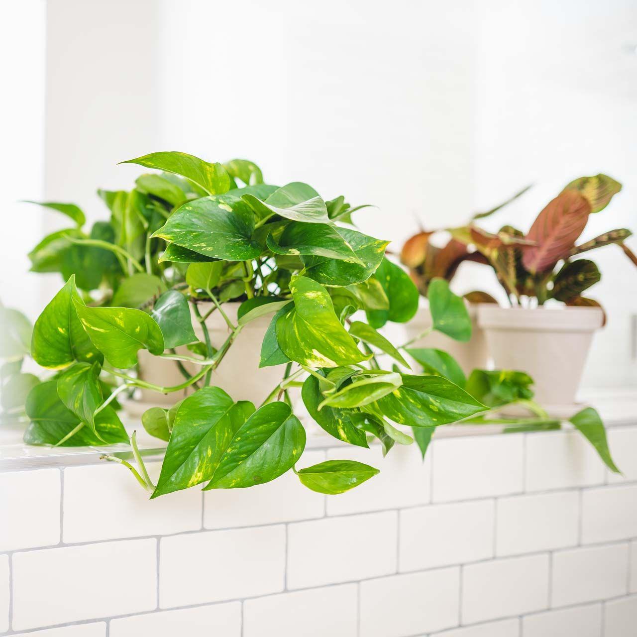 Badezimmer Pflanzen In 2020 Pflanzen Pflanzenwelt Zimmerpflanzen