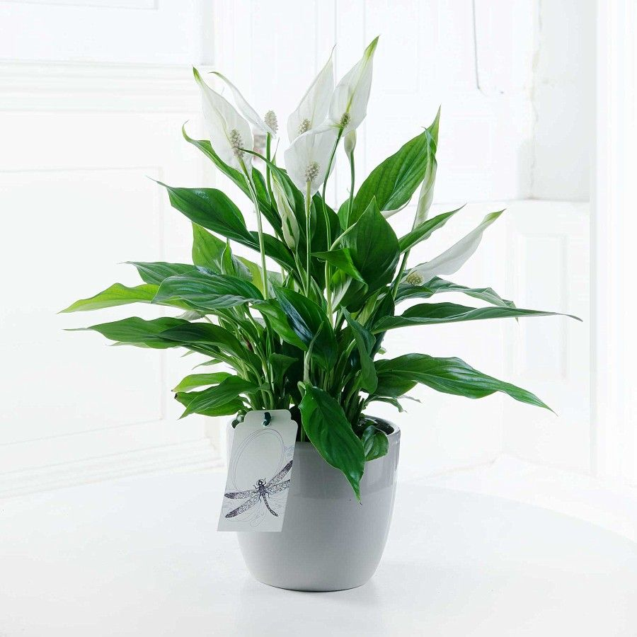 Peace lily flyingflowers decor pinterest peace lily great value cheap flowers delivered for under with free delivery and a free pop up vase over 10 million bouquets delivered by flying flowers since izmirmasajfo Image collections