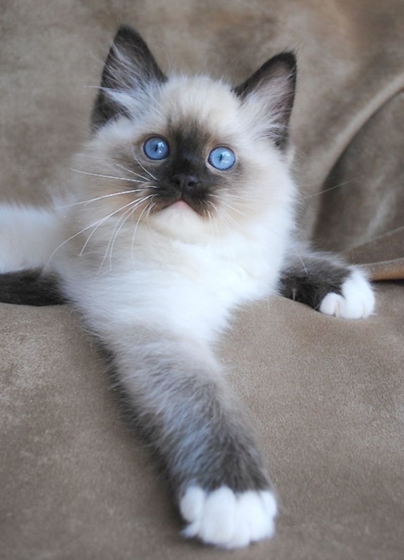 Best Cat Breeds For Families Ragdoll Beautiful Cats That Have Blue Eyes Cream Colored Fuzzy Fur An Interesti Ragdoll Cat Breeders Best Cat Breeds Cats
