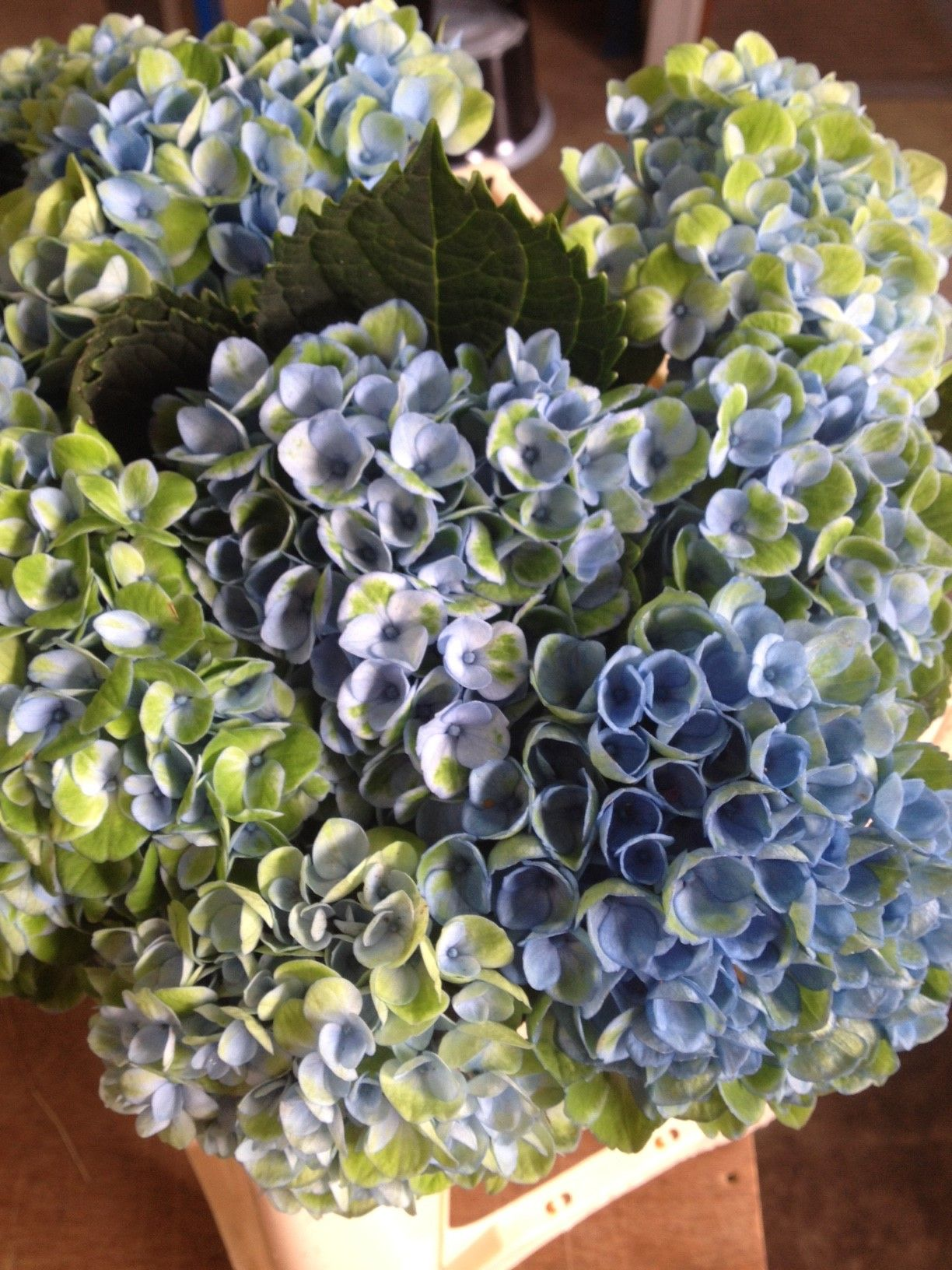 Mini Hydrangea - Magical Revolution...these stems were only 35cm tall. Sold in bunches of 10 stems from the Flowermonger the wholesale floral home delivery service.