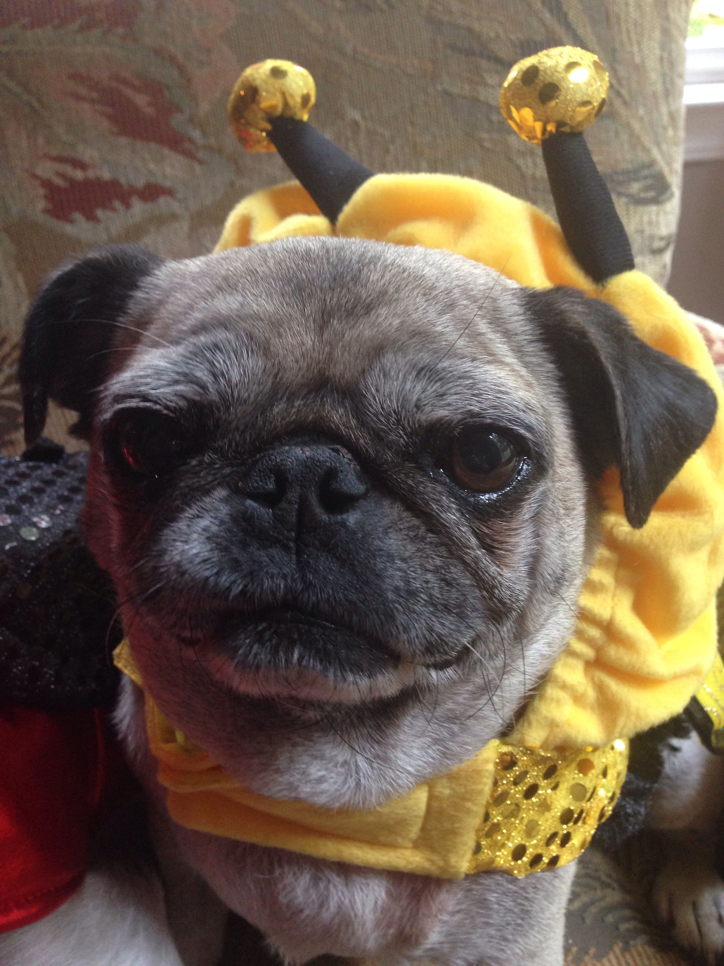Happy pugaween all my friends I'm buzzing around town in