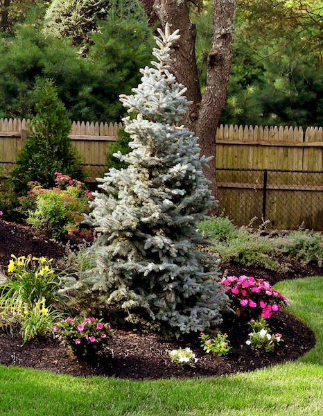 evergreens - basics landscpaing