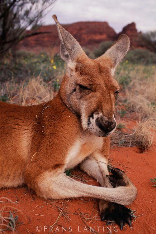 Frans Lanting - Red kangaroo resting, Macropus rufus, Finke Gorge National Park, Australia