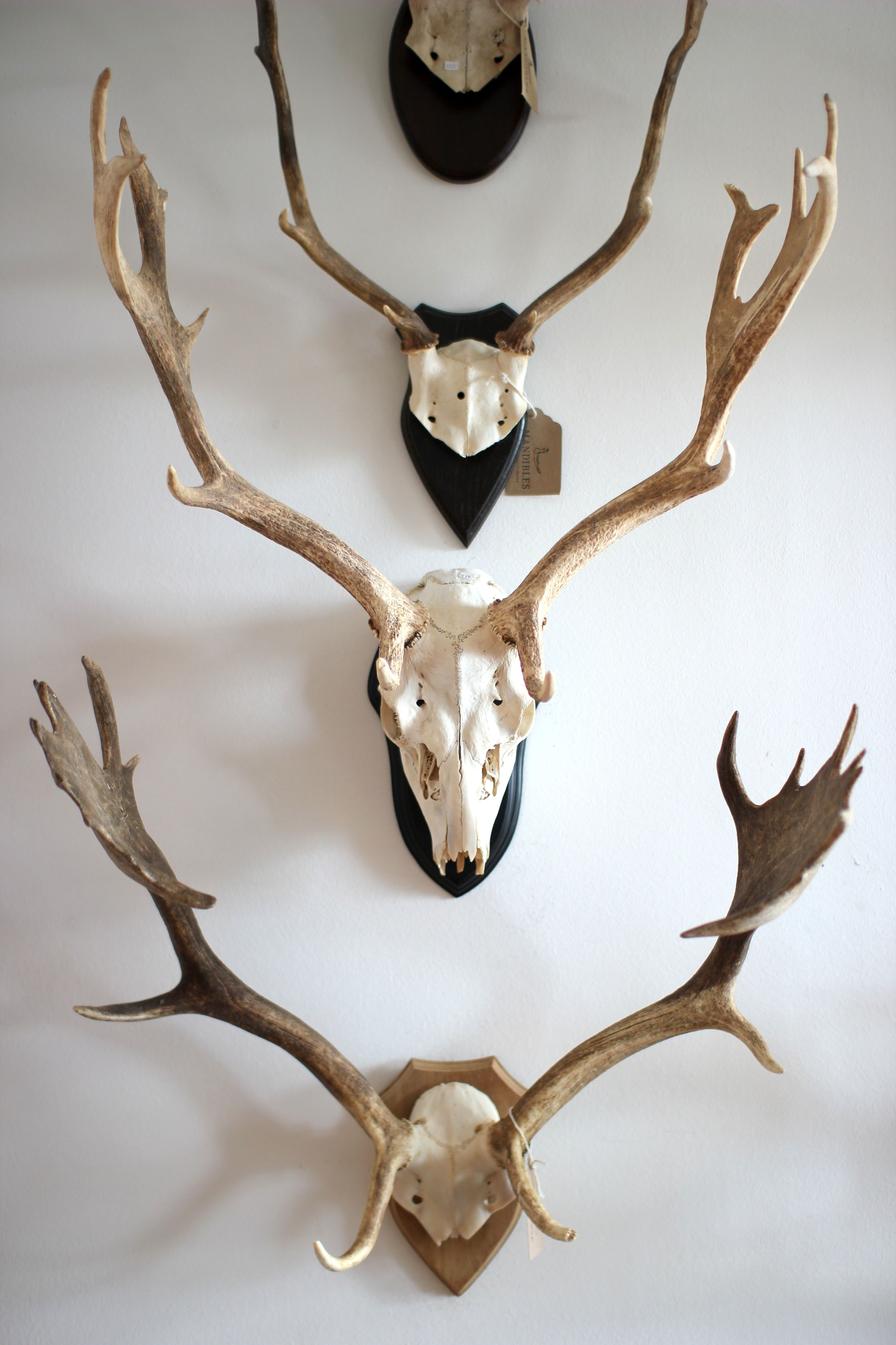 Fallow Deer antlers. Mandibles, Cape Town.  www.mandiblescollection.com