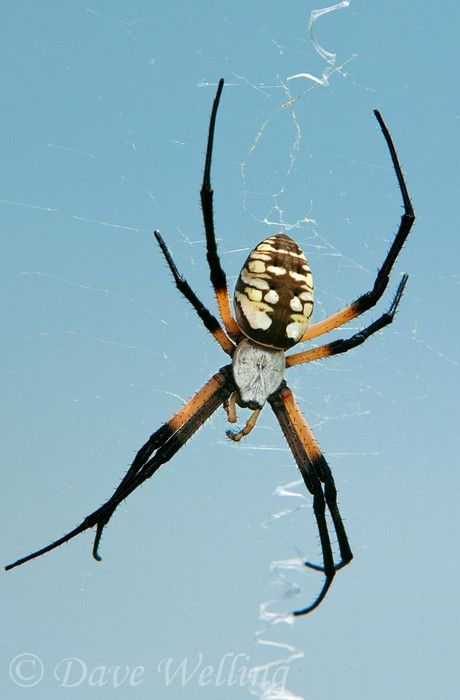 a wild yellow garden spider argiope aurantia in its web at hornsby bend travis county texas