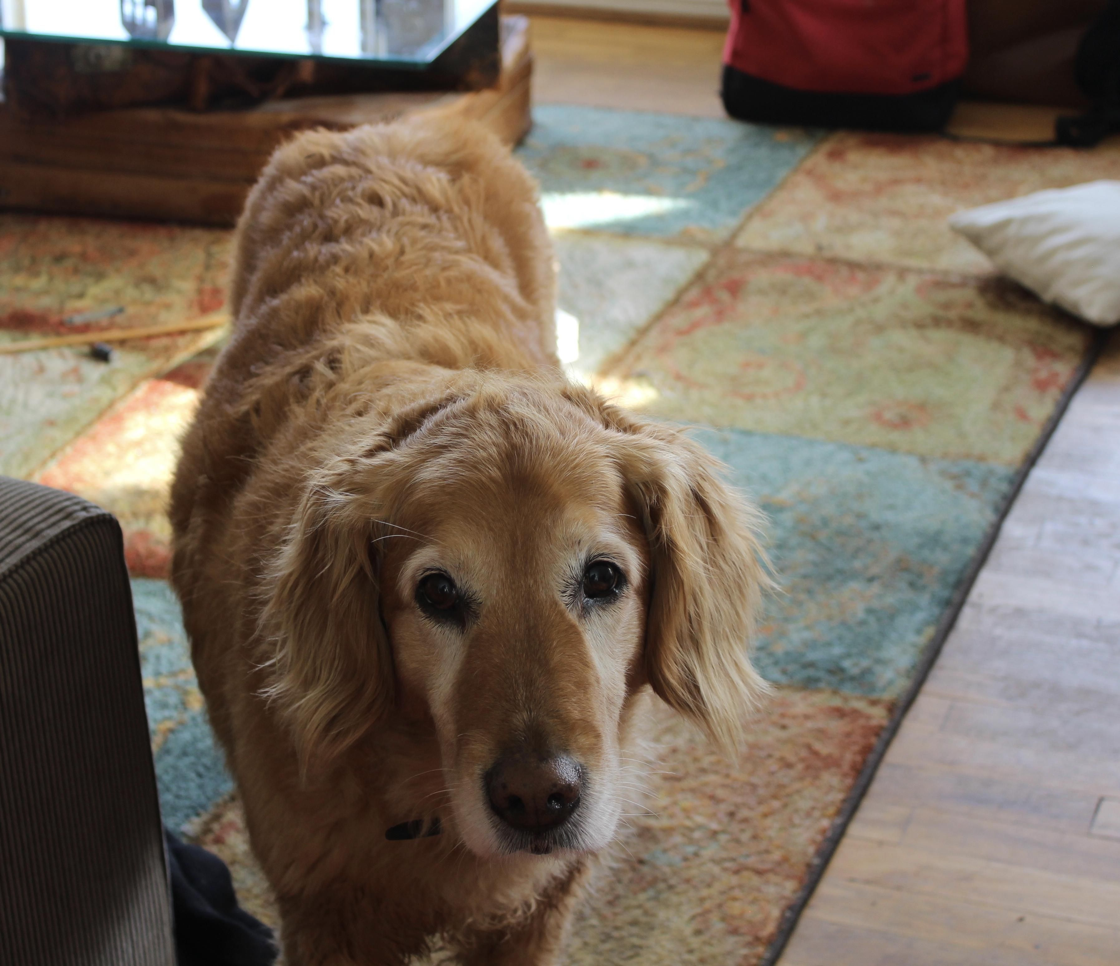 My 11 Year Old Golden Retriever Rosebud Also Happened To Be One
