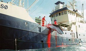Why is Spar intent on boosting Norway's cruel and dying whaling industry? / A freshly killed Minke whale hoisted onto Norwegian whaler Kato in the North Sea.