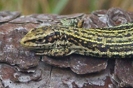 Common Lizard Credit Neil Aldridge British Wildlife Big Iguana Protected Species
