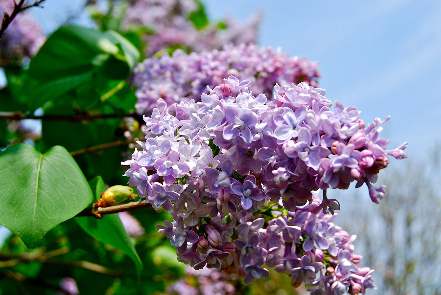 Spring Has Sprung See All 50 State Flowers In Bloom Lilac Flowers Purple Lilac Lilac