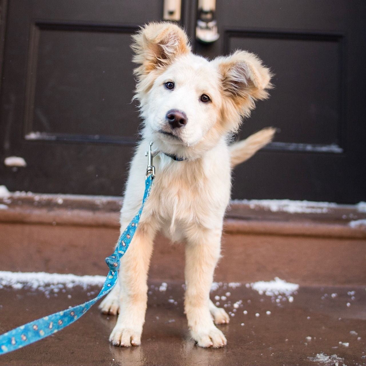 Larry Chow Chow Golden Retriever Mix 4 M O 9th 2nd Ave New