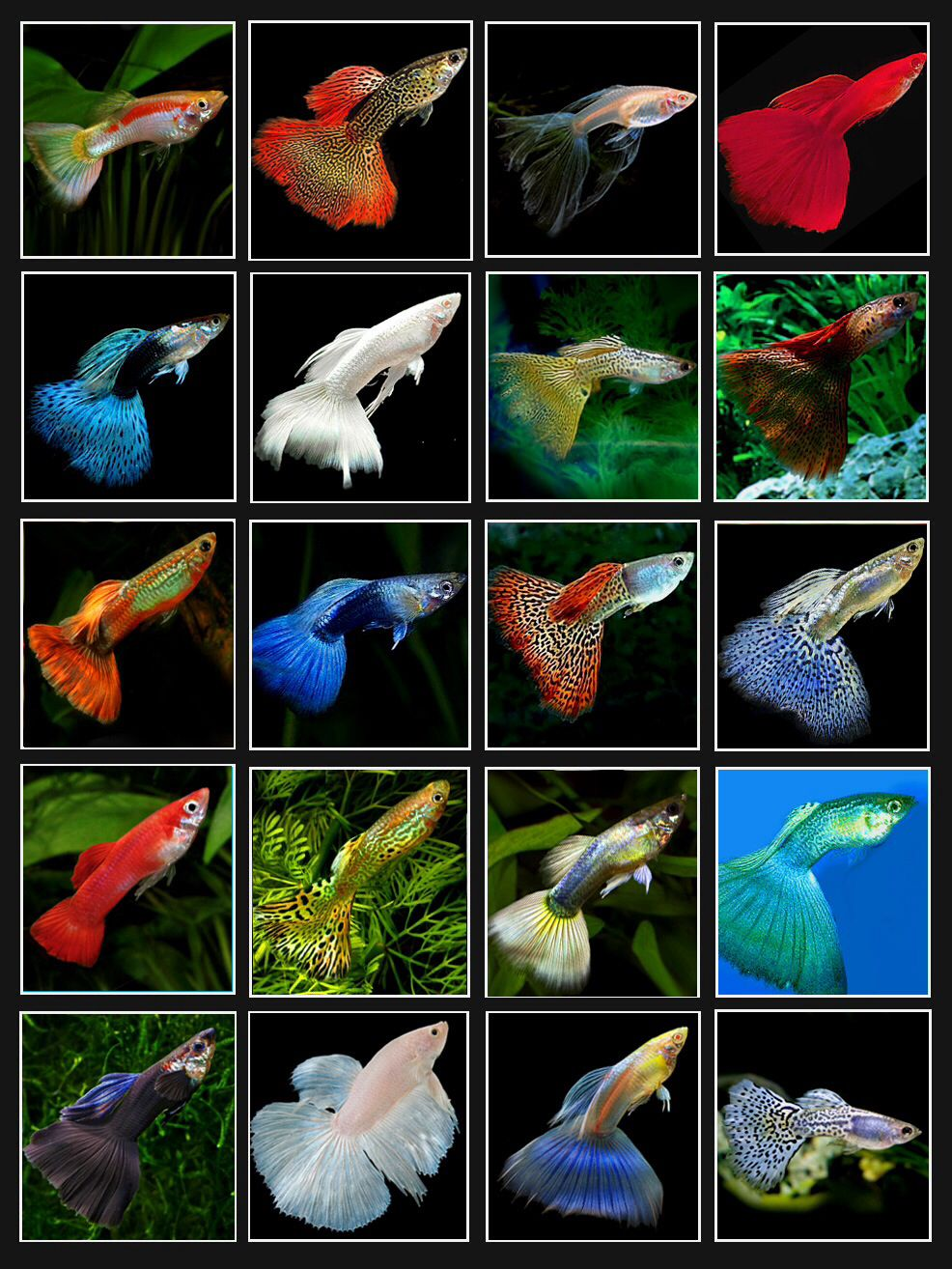 Guppy colors tanked pinterest guppy aquariums and fish for Exotic fish tanks