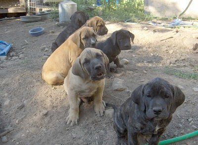 Daniff Puppies Half Great Dane Half Mastiff I Wanna Squish