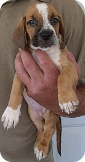 Corona Ca Basset Hound Mix Meet Hush Puppies A A Puppy For Adoption Kitten Adoption Puppy Adoption Basset Hound Mix