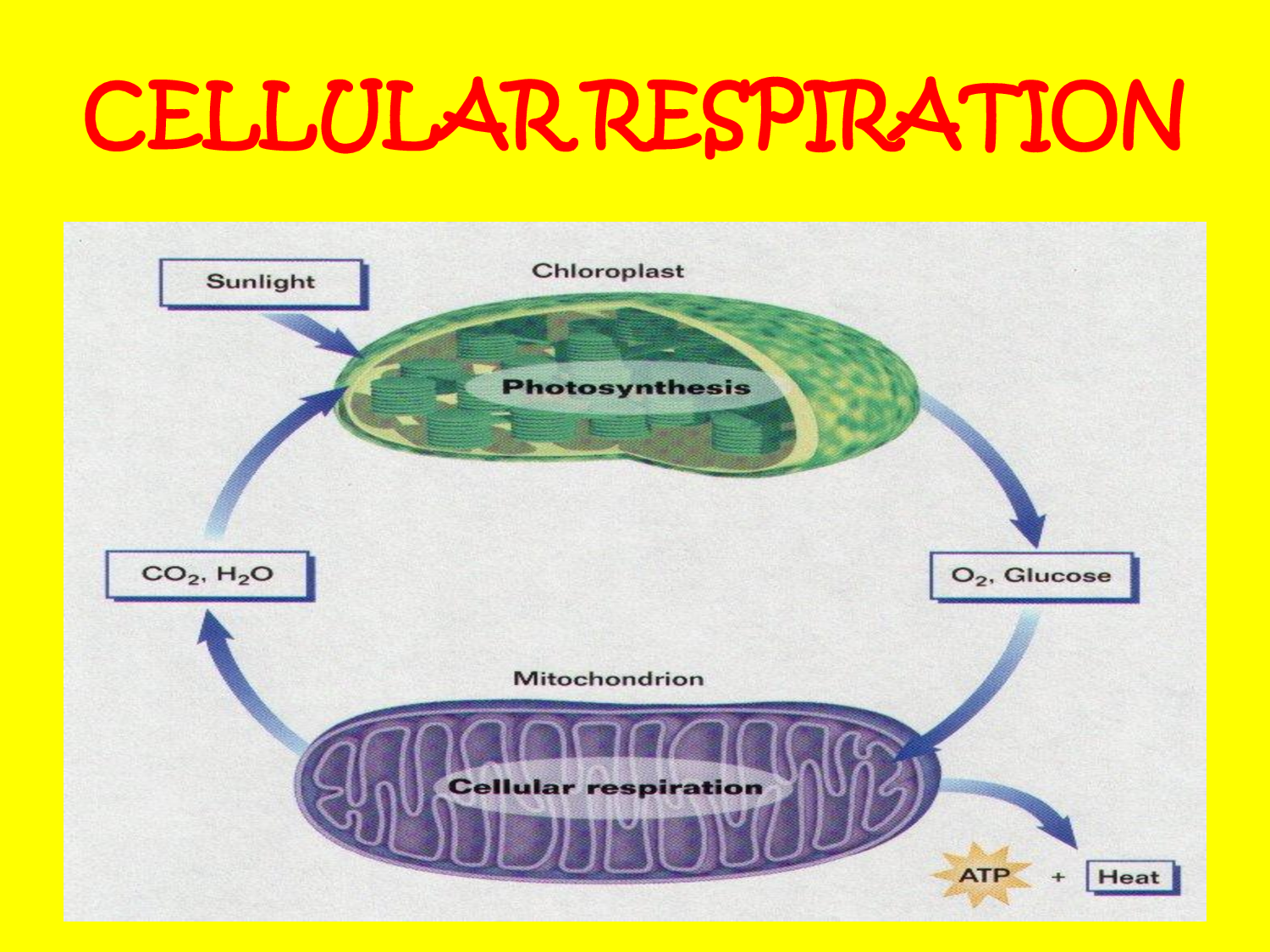 Cellular Respiration Is The Process That Continues After