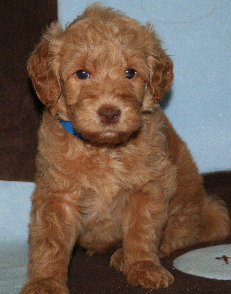Miniature Goldendoodle Golden Retriever Poodle Mix Info Pictures Goldendoodle Puppy Golden Retriever Poodle Mix Goldendoodle Puppy For Sale